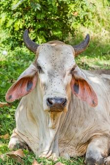 Kühe, die unter dem baum und viel der fliege auf ihm stillstehen, stellen gegenüber