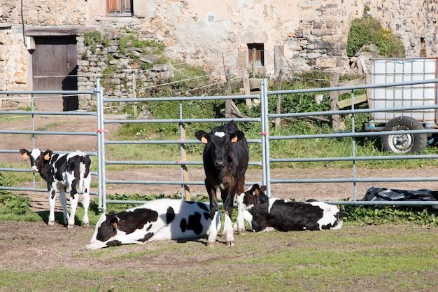 Kühe für milch