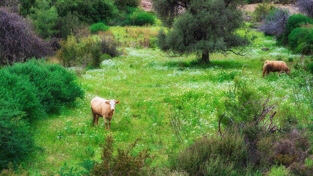 Kühe grasen auf einer bergwiese in einem dorf in der türkei