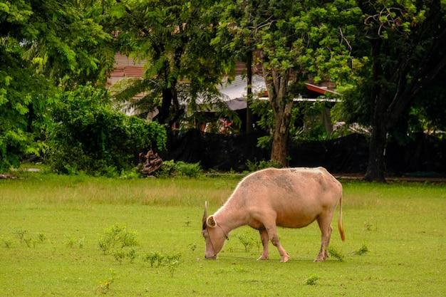 Kühe grasen auf einer wiese