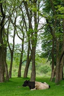 Kühe grasen frei zwischen den bäumen auf der wiese.