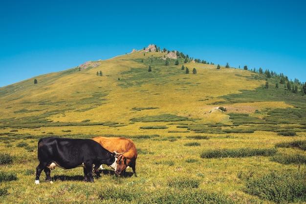 Kühe grasen im grasland im tal gegen wunderbare riesige berge an sonnigem tag