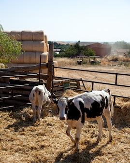 Kühe im zaun auf einem bauernhof