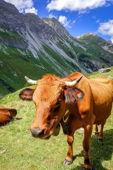 Kühe in den alpen der französischen alpen
