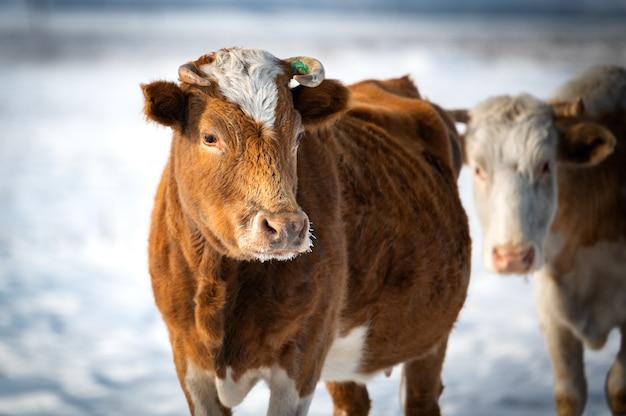Kühe in der russischen steppe bis zum winter