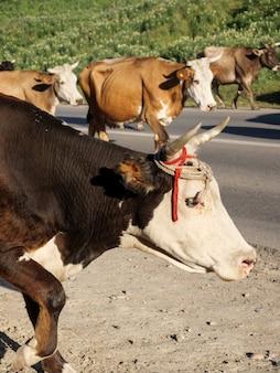 Kühe laufen auf einer asphaltstraße