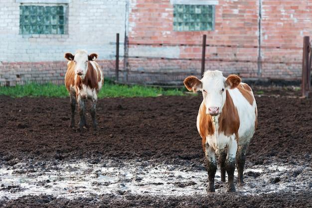 Kühe stehen im dreck auf einer rinderfarm.
