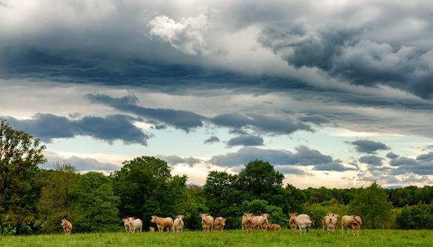 Kühe und ein bedrohlicher bewölkter himmel. bedrohliche wolken über der landschaft