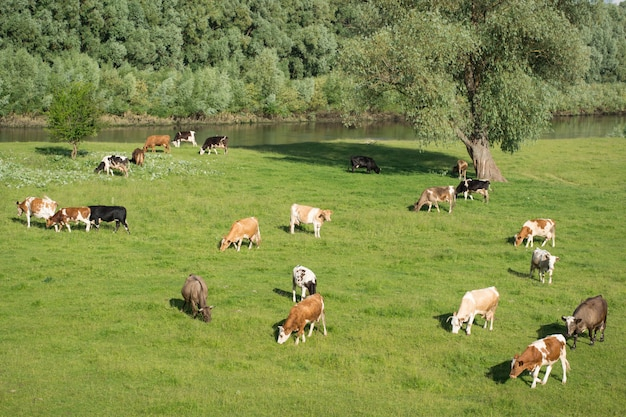 Kühe und schafe weiden auf dem feld in der nähe des flusses