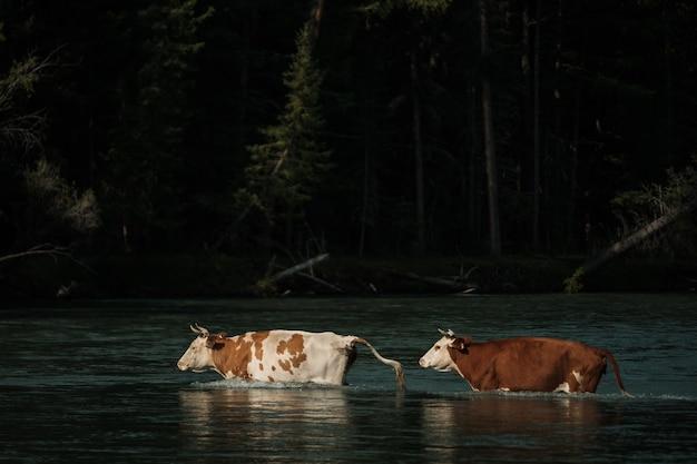 Kühe waten über einen fluss im altai-gebirge.