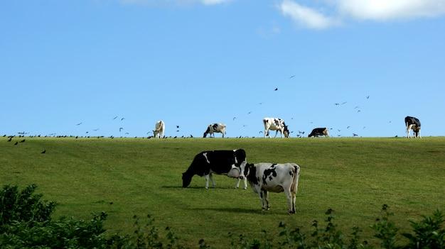 Kühe weiden und vögel