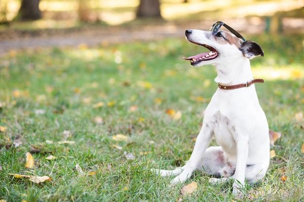 Kühler hundetragendes sonnenbrillesitzen