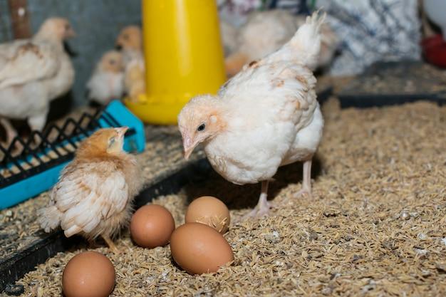 Küken und eier in hühnerzuchtbetrieben