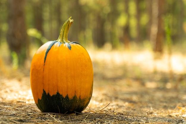 Kürbis auf waldboden bedeckt mit baumrinde. ein ideales bild für herbst-, halloween-, erntedank-, urlaubsthemen