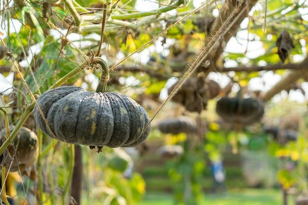 Kürbis, der im biogarten wächst, bereiten vor, um zu ernten.