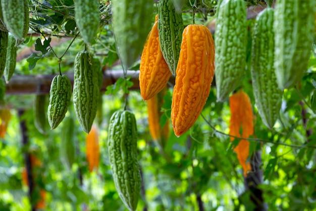 Kürbis frisches obst auf den pflanzen im garten.