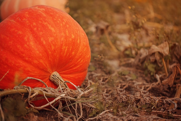 Kürbis-orangenfeld. erntezeit im oktober.