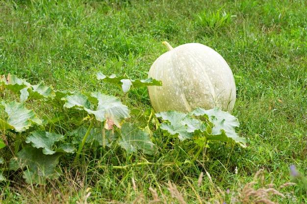 Kürbisernte wächst im garten. gemüsegarten auf einem bauernhof, herbsterntezeit.