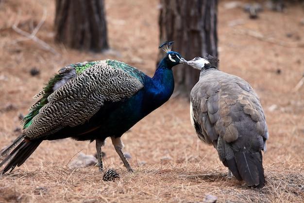 Küssen vögel pfauen. liebeskonzept