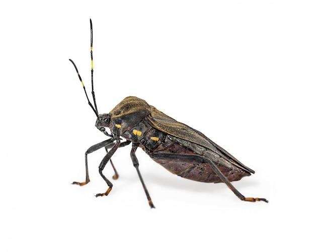 Küssender käferchagaskrankheits-vektor triatomine