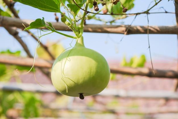 Kugelförmiger grüner kalebassenkürbis im garten als weinpflanze gepflanzt