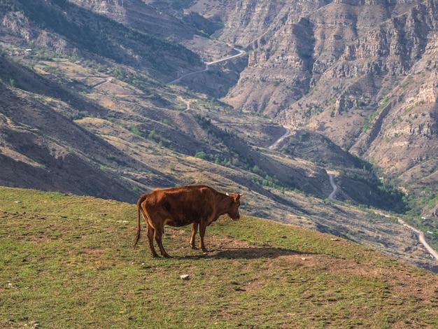 Kuh an der klippe. rote kuh weidet auf einem berghang. eine spärliche grüne wiese auf der klippe eines berges, wo an einem sonnigen sommertag eine kuh weidet.
