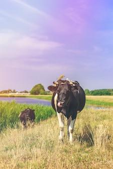 Kuh auf dem feld leckt sein gesicht