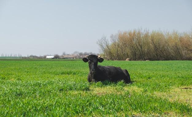 Kuh auf dem feld texas black angus