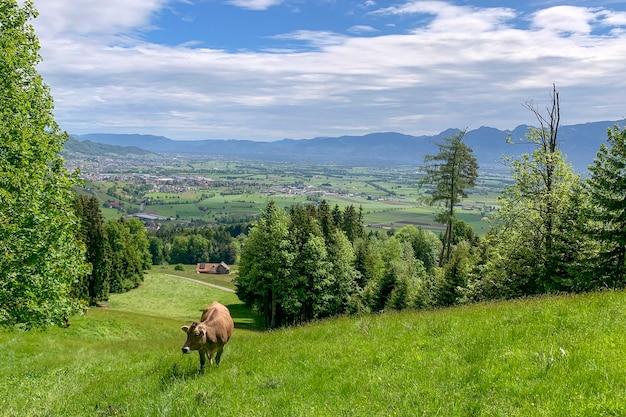 Kuh auf der wiese vor dem hintergrund einer berglandschaft.