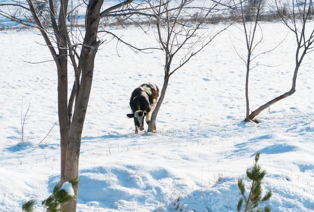 Kuh auf einem verschneiten feld an einem sonnigen tag