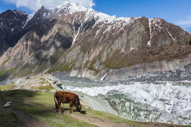 Kuh auf hochland alm gletscherfeld hochwertiges foto