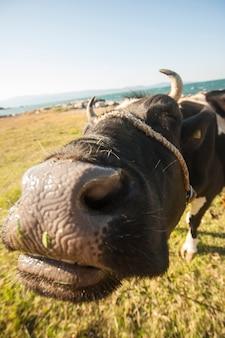 Kuh blick auf die kamera