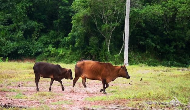 Kuh bringt ihren sohn nach hause
