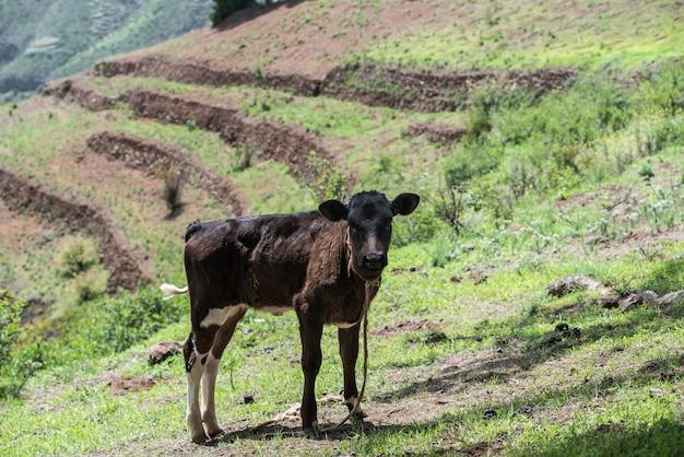 Kuh, die auf grünem land des berges in kapverde afrika weidet