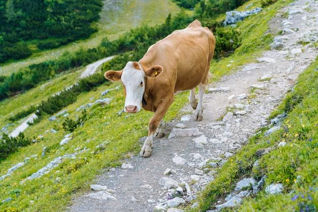Kuh, die auf straße durch alpen steht. kuh und kalb verbringen die sommermonate auf einer almwiese in den alpen. viele kühe auf der weide. österreichische kühe auf grünen hügeln in den alpen. alpenlandschaft an bewölktem sonnigem tag.