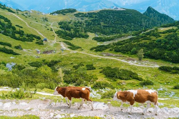 Kuh, die auf straße durch alpen steht. kuh und kalb verbringen die sommermonate auf einer almwiese in den alpen.