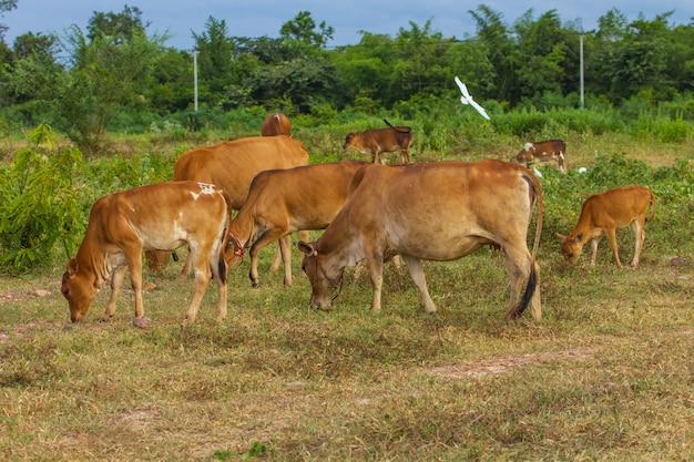 Kuh, die gras am feld im sommer isst