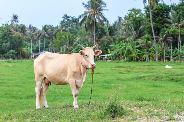 Kuh, die gras am feld isst