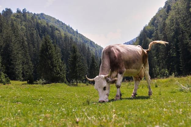 Kuh, die gras in der hügelszene isst