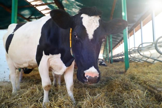 Kuh, die in einem stall mit heu auf der farm steht
