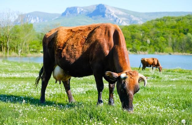 Kuh, die in einer wiese auf bergen und see weidet