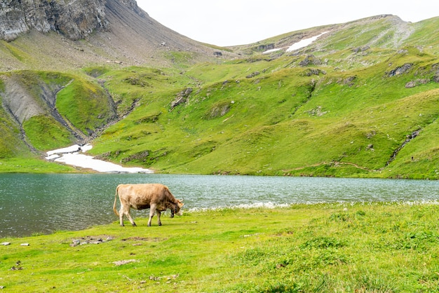 Kuh im schweizer alpenberg grindelwald zuerst