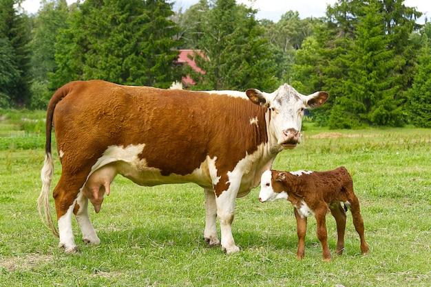 Kuh mit neugeborenem kalb auf grünem gras der wiese.