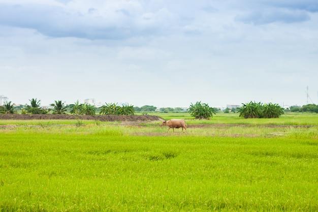 Kuh oder büffel, die herum auf das reisreisfeld die landwirtschaft in thailand-landschaft gehen