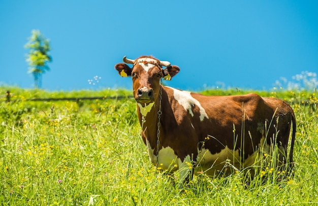 Kuh und die wiese
