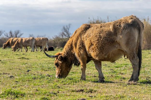 Kuh weidet in den sümpfen des ampurdan.
