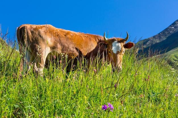 Kuhherde auf der grünen wiese des sommers .landwirtschaft, die ländliche weide bewirtschaftet