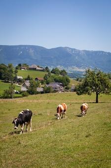 Kuhherde, die im frühjahr in frankreich milch für gruyère-käse herstellt