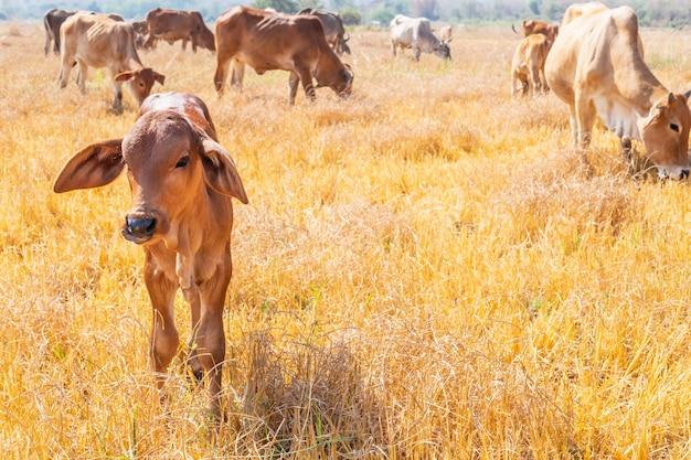 Kuhherde grasen auf grasland in hügeligen landschaften und wiesen an klaren tagen.