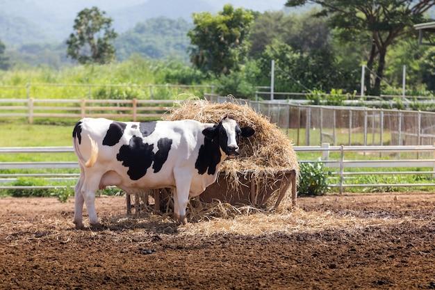 Kuhmilch essen reisstroh in der farm.